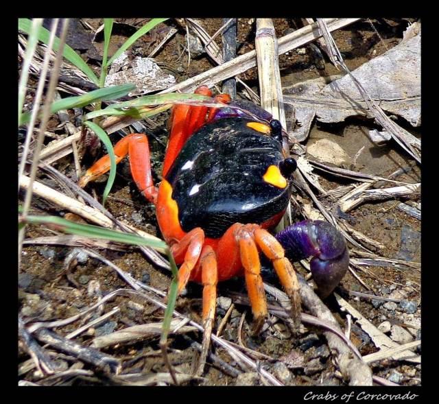 31b - Crab (Large)