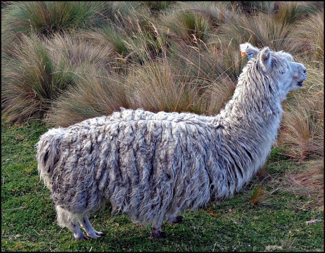 34 - Llama (Large)