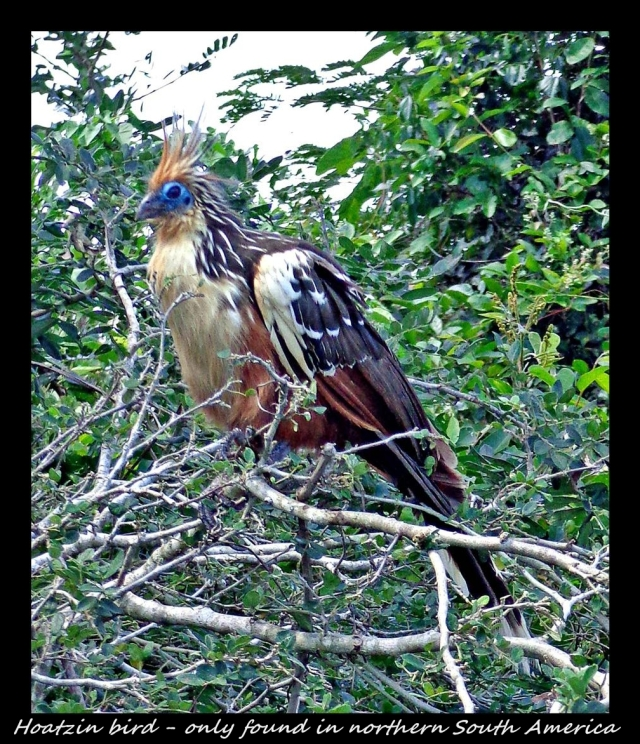 25 - Paradise bird (Large)