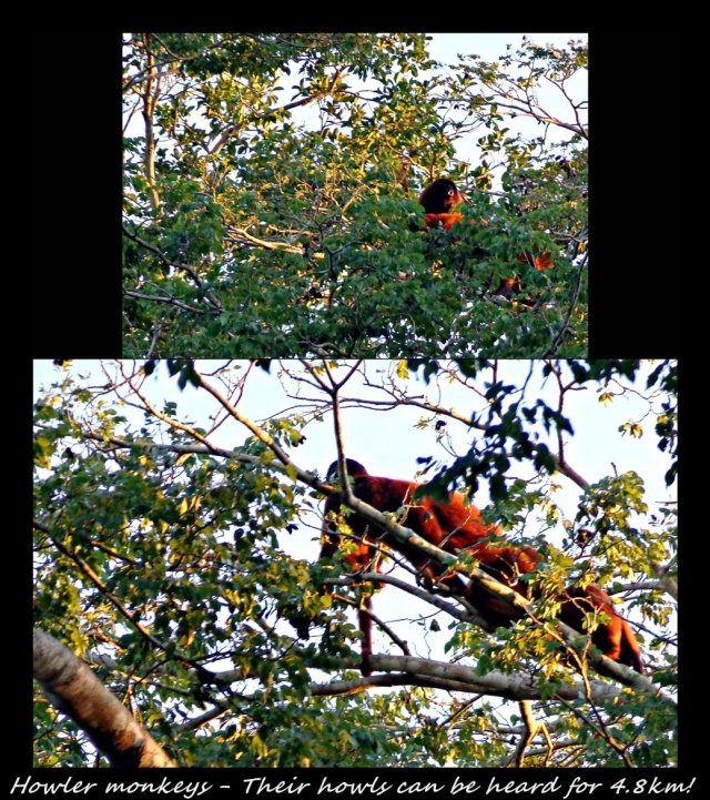 29 - Howler monkeys (Large)