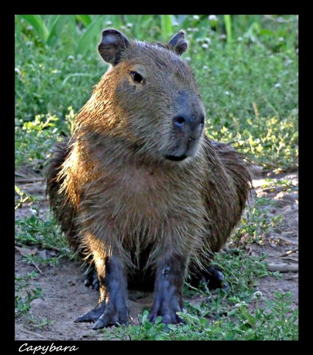 46 - Capybaras 2 (Large)