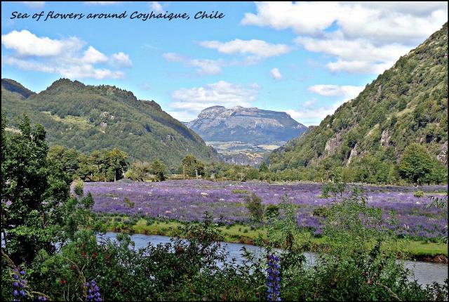 111 - Sea of flowers around Coyhaique (Large)