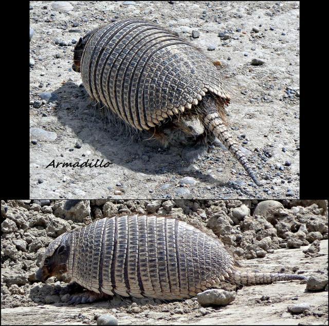 138 - Amadillo (Large)