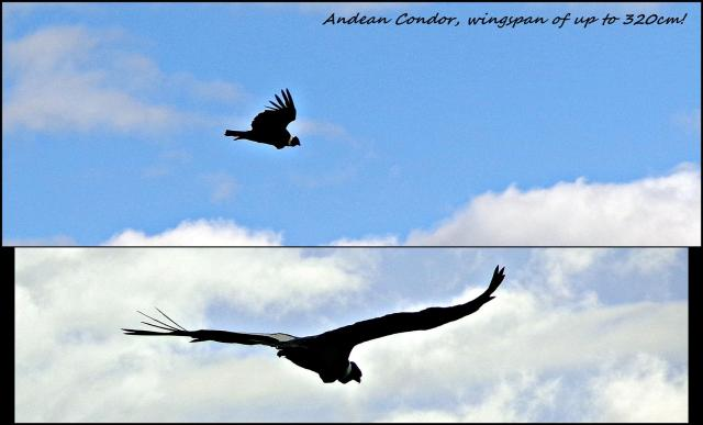 164 - Possible condor (Large)
